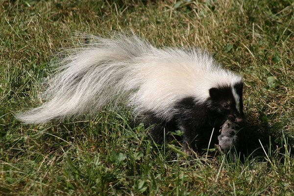 Striped Skunk with Shrew