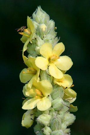 Common Mullein, Verbascum thapsus